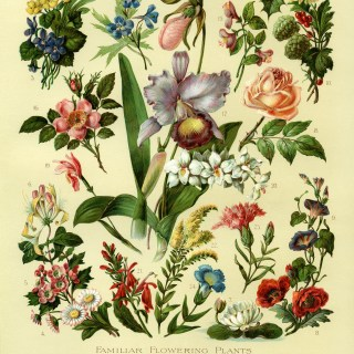 Familiar Flowering Plants ~ Free Vintage Image