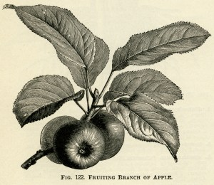 fruiting branch of apple, vintage apple clip art, black and white graphics, apples and leaves, botanical fruit image