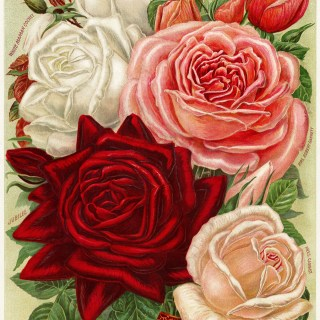 White, Pink and Red Roses ~ Free Vintage Image