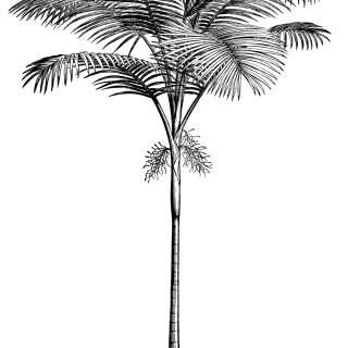 Palm Tree ~ Free Vintage Clip Art