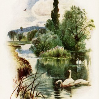Swans Swimming on Pond ~ Free Vintage Image