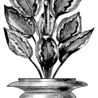Calathea Veitchii ~ Free Vintage Botanical Clip Art