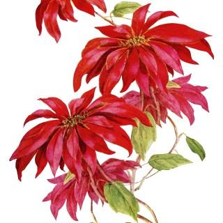 Poinsettia Christmas Flower ~ Free Vintage Image