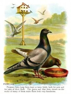 vintage pigeon clip art, pigeon illustration, vintage animal printable, antique bird image color, bird eating graphics