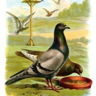 Pigeons ~ Free Vintage Illustration