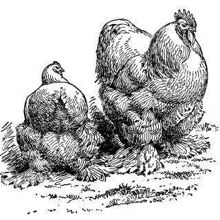 Buff Cochins Hen and Rooster ~ Free Clip Art