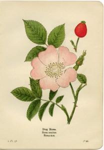 dog rose illustration, rosa canina, pink flower printable, vintage flower clip art, floral botanical graphics