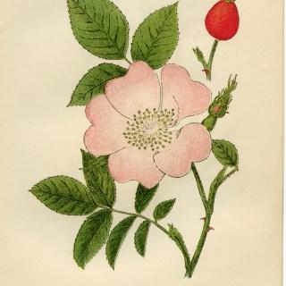 Dog Rose ~ Free Vintage Illustration
