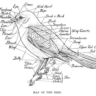 Map of the Bird ~ Free Vintage Illustration