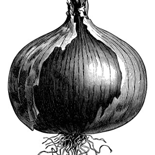 Two Varieties of Onions ~ Free Vintage Clip Art