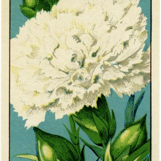 French seed label, old fashioned seed package, carnation seed pack, vintage garden clip art, vintage flower illustration