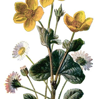 Marsh Marigold and Daisy
