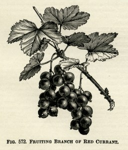 OldDesignShop_RedCurrant
