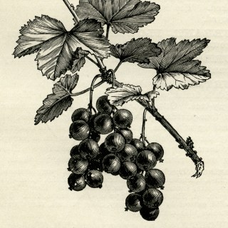 Fruiting Branch of Red Currant