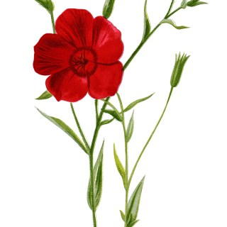 crimson flax, floral clip art, red flower illustration, vintage flower graphics, Frederick Edward Hulme
