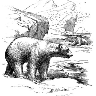polar bear engraving, vintage polar bear illustration, vintage animal printable, printable image to color, black and white graphics
