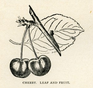 cherry clip art, cherry leaf and fruit, vintage botanical fruit, black and white graphics, garden clipart