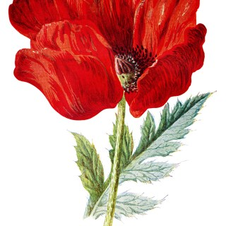 poppy clip art, Oriental poppy, vintage flower illus, Frederick Hulme, red flower graphic
