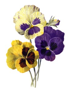 pansy clip art, F Edward Hulme, vintage flower illus, yellow purple flowers, floral printable art