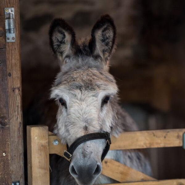 Ernie the donkey