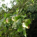 Apples swelling and ripening in the sun