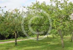 Apple orchard, Acorn Bank, Penrith.