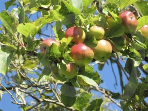 Apple orchard at the Ukrainian Chapel, Dumfries