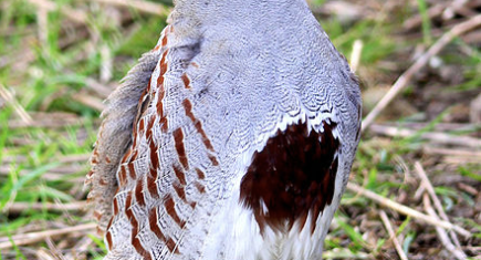 Picture of male Grey Partridge