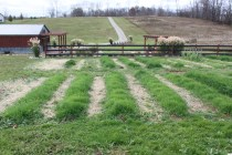 Our beds planted with their fall blanket of cover crops - which well help protect the topsoil through winter, keep weeds from germinating, and add tons of organic matter when we turn it under in the spring