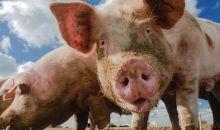 Έγκλημα ΣΟΚ! Τον πέταξαν στα γουρούνια ζωντανό και τον καταβρόχθισαν!