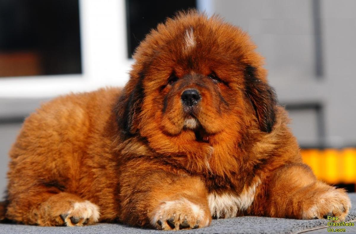 Cute-and-Funny-Tibetan-Mastiff