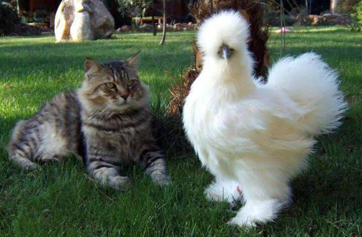 The fabulous Silkie Bantam Chicken