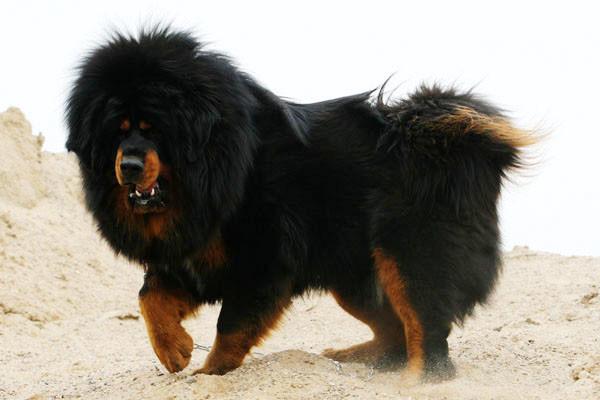 Tibetan-Mastiff-Dog-600x400
