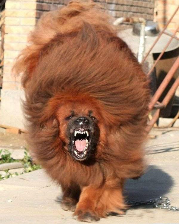 red_tibetan_mastiff_201123201611109778022