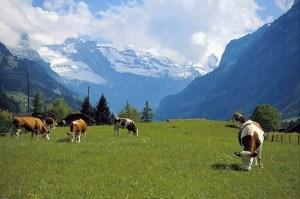 Горы, коровы