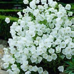 White Campanula Flowers
