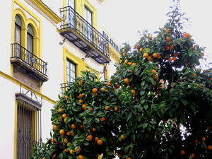 An orange tree in a Seville neighbourhood