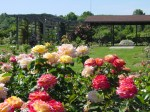 Roses of Romance and history at Secrest Arboretum