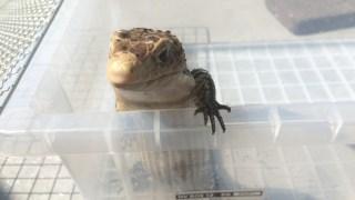 ③オニプレートトカゲを飼いたい爬虫類初心者さんへのQ&Aを公開!【餌の種類】