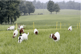 Boer Goats in Pasture