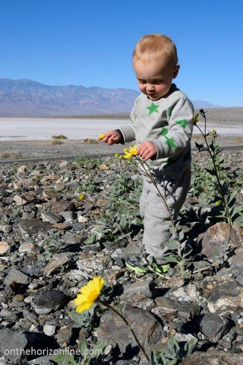 A rare bloom of the desert sunflower above the lowest point in the U.S. ... 220 feet BELOW sea level!