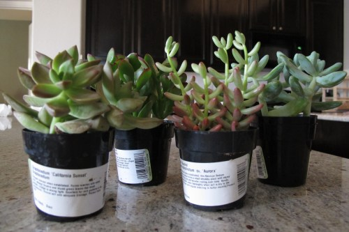 Medium Of Home Depot Succulents