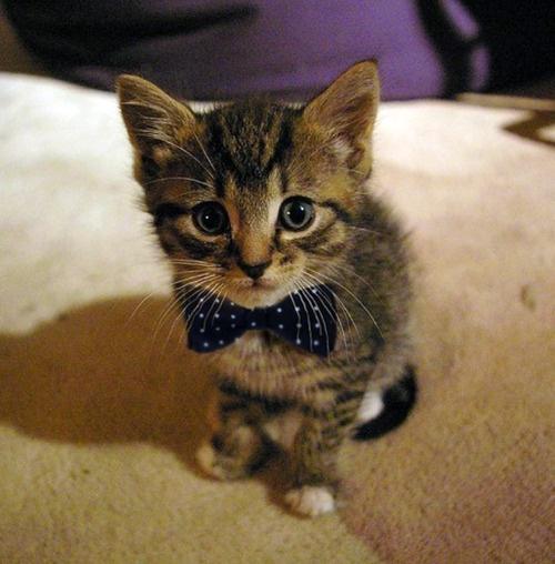 kitten-bowtie