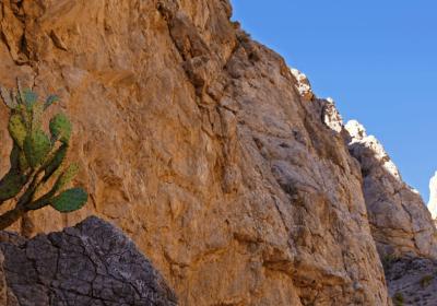 Opuntia on steep rocky cliff