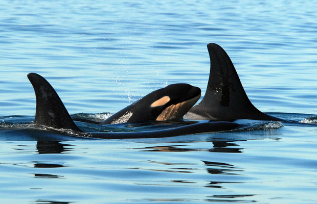 zdroj: http://www.raincoast.org/2010/12/b-c-s-killer-whales-at-risk-species-score-victory-in-landmark-court-case/m-baby-whale/
