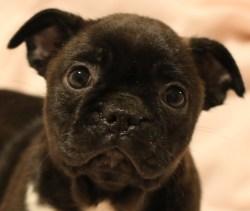 Howling Bugg Little Girl Cross Between Pug Boston Terrier Boston Terrier Pug Mix Life Expectancy Boston Terrier Pug Mix Black