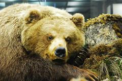 russian bear photo