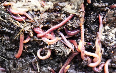 Soil Worms
