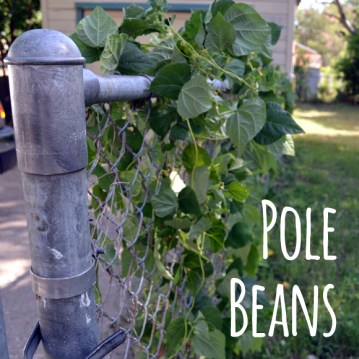 Growing Bush Beans and Pole Beans