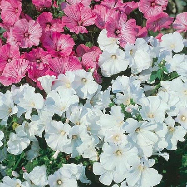 фото цветов лаватера